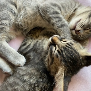 甘えん坊な仔猫 ふさふさの毛が特徴的 - 猫