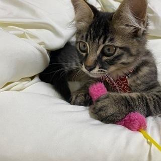 甘えん坊な仔猫 ふさふさの毛が特徴的 - 里親募集