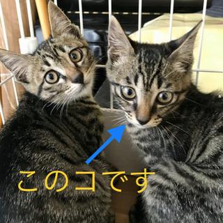▪️キジ@キリ眉♂▪️2〜3ヶ月の仔猫3兄弟です!
