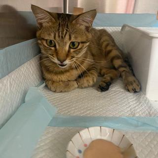 交通事故に遭った猫ちゃんの里親さんを探しています。(現在治療中です)