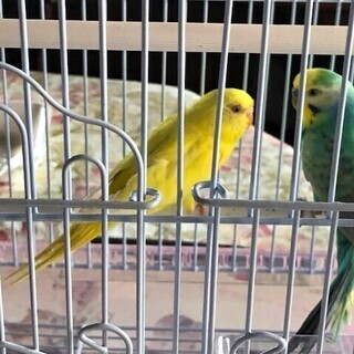 セキセイインコ2羽 生後4か月と1歳