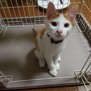 【募集停止】もうすぐ4ヶ月の子猫です。