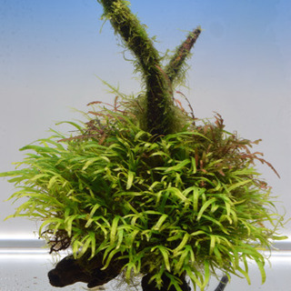 【トロピカ】ミクロソリウムトライデント付流木