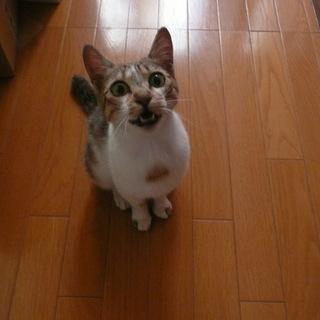 子猫メス 白の多い薄茶キジトラ模様 生後10ヶ月位 一度見に来て...