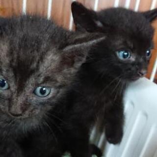 ブルーアイズの黒猫ちゃん💖 - 倉敷市