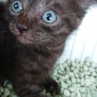 ブルーアイズの黒猫ちゃん💖 - 里親募集