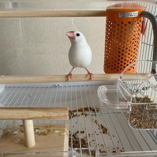 白文鳥 1歳半