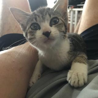 大人しい子猫(メス)【飼主不在を交番に確認済@8月1日】