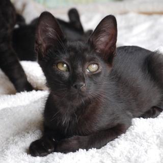 超甘えっ子の黒子猫