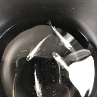 青ラメ幹之メダカの稚魚15匹