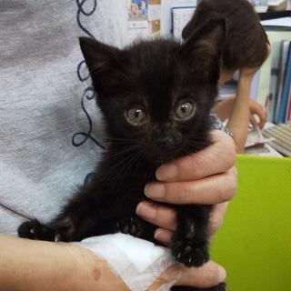 保護 仔猫仲間    黒猫    メス    1ヶ月   まっく...