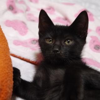 生後4カ月の黒子猫オス甘えっ子