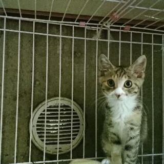 8月8日(土)三鷹で猫のお見合い会💓 キジシロとサビの姉妹 生後...