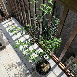 オリーブ鉢植え ミッション