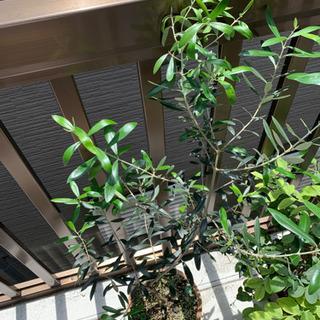 オリーブ鉢植え ネバティロブランコ