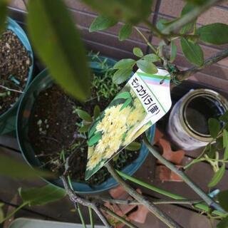 モッコウバラ鉢植え