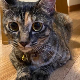 【里親急募】サビ子猫♀避妊済 とても人懐っこいです!