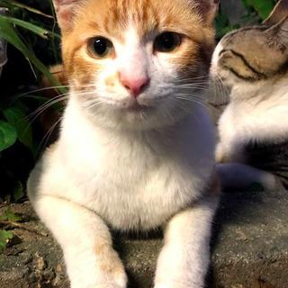 茶色と白のミックス子猫の里親様募集