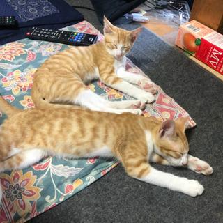 【急募】茶トラ子猫2匹の里親さん募集中! − 福井県