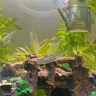 オイカワの稚魚