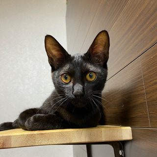 黒猫 ハチワレ男の子 生後約4ヶ月半