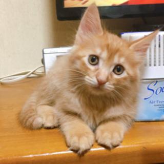 再度里親急募 メスの子猫1匹(生後2か月)