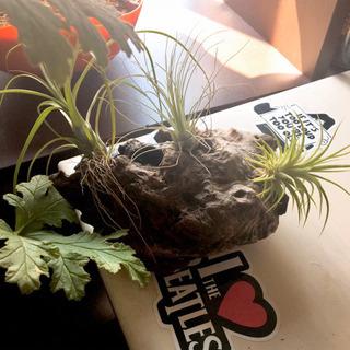 エアプランツ チランジア 3種 流木レイアウト