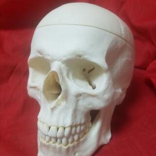 美品❤️実物大 頭蓋骨模型