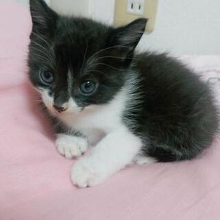 生後4週間の黒白猫ちゃんの里親さん募集。