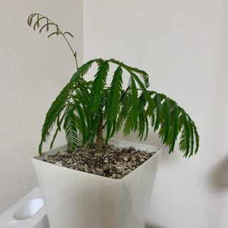 観葉植物 エバーフレッシュ③