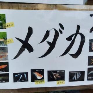 めだか(メダカ) 水草 貝