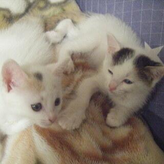 生後1か月の子猫たち白三毛ちゃんです