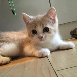 生後4ヶ月スコティッシュフォールド子猫