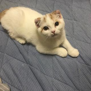 生後4ヶ月スコティッシュフォールドの子猫