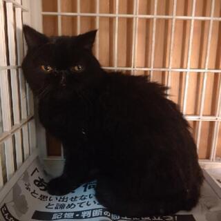 黒猫エキゾチックちゃんです