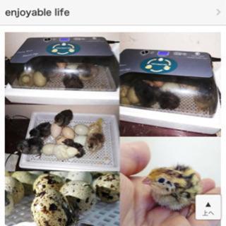 自動孵卵器