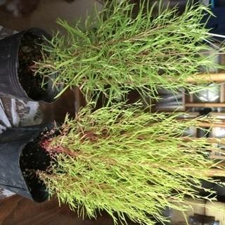 観葉植物☆コキア ほうき草のポット苗2つ 屋外で