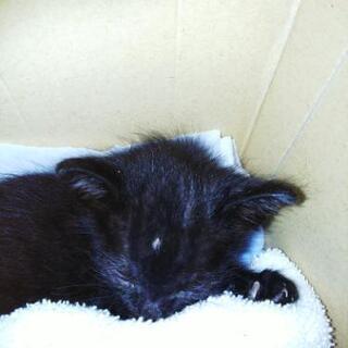 真っ黒の子猫 - 新発田市