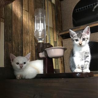 サバ白(オス)と白猫(メス)の子猫の里親さん募集です。