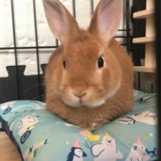 小型ウサギ☆ネザーランドドワーフ☆里親様決定致しました。