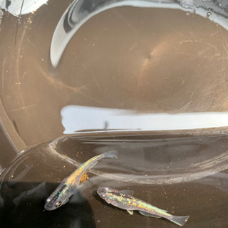 【❤人気のキラキラ❤】大人気品種オーロラ黄ラメ体外光幼魚  5匹...