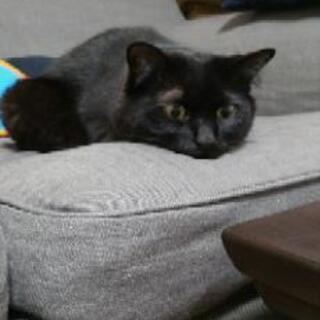温厚で甘えん坊な美人猫ちゃんです。