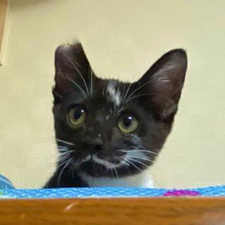 ✨お顔の模様が特徴的で懐こい2カ月半の黒白猫の男の子です!