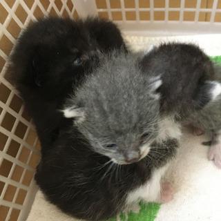 キジトラ仔猫1匹 生後1週間前後