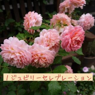 【交渉中です】育てやすい人気のバラの鉢植え 3鉢
