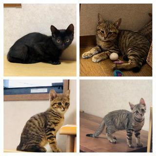生後2〜3ヶ月の子猫 キジトラ・黒猫 4匹兄弟