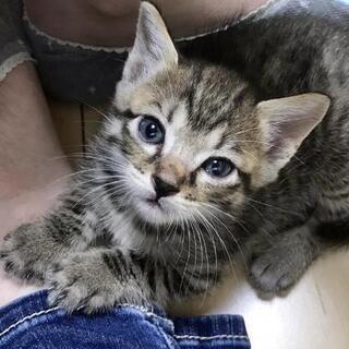 お目めくりくりのキジトラ君 - 猫