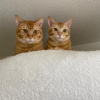 茶トラ 一歳半 オス猫 2匹