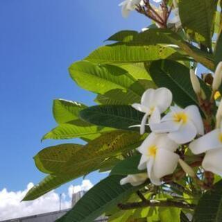 美しくも!珍しい !プルメリア‼️ 成木庭木/シンボルツリー/カ...