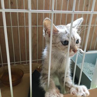 子猫トラ模様のベージュ×グレー性別不明
